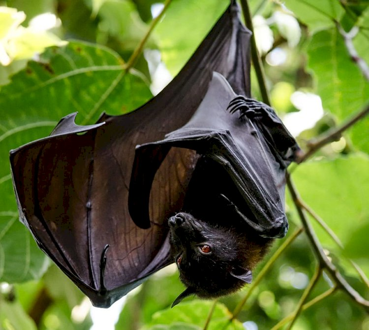 Are Bats Dangerous: Why Do So Many Viruses Live In Bats?
