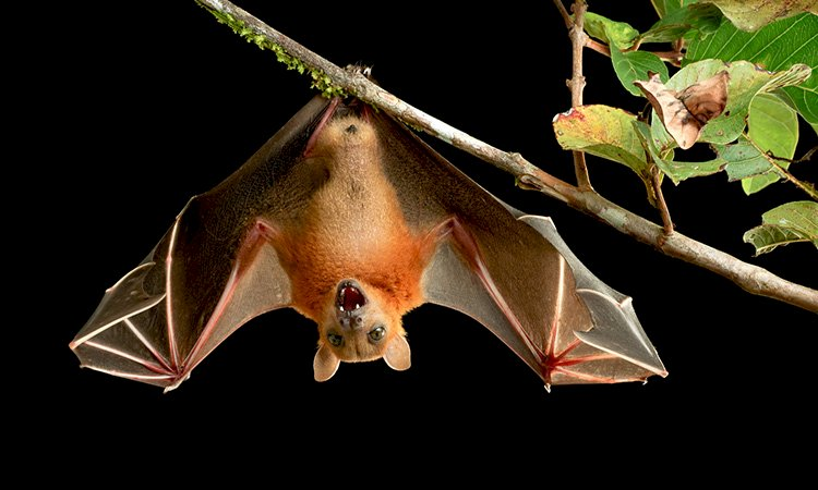 Bat Survives with Deadly Viruses | But How?