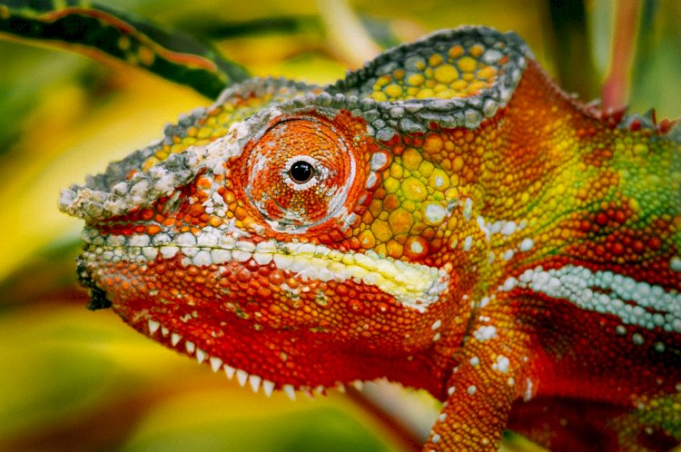 Chameleon Color Change: How Do Chameleons Know What Color To Change To