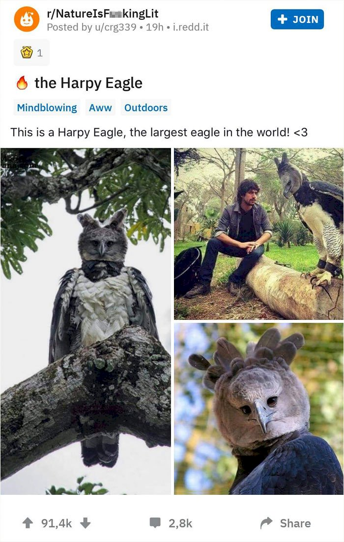Meet The Harpy Eagle, A Bird So Big, Some People Think It's A Person In A Costume